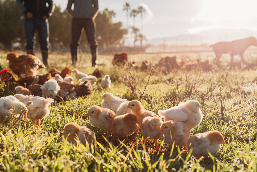 Episode 2 of Herd That is out! - In this episode, Melissa interviews Paul Grieve of Pasturebird. Learn why this SoCal company is rapidly becoming the largest pastured poultry operation in the country.