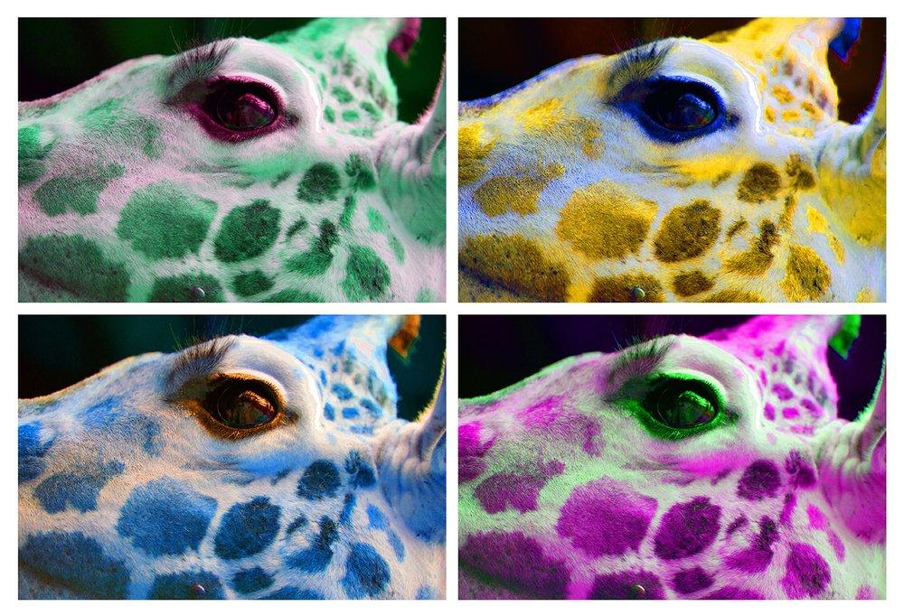 giraffe face 13x19-s.jpg