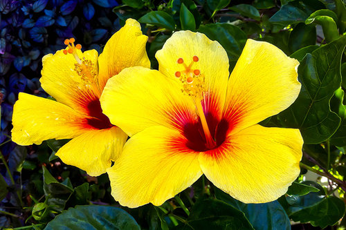 Yellow Hibiscus Dare To Care Photography