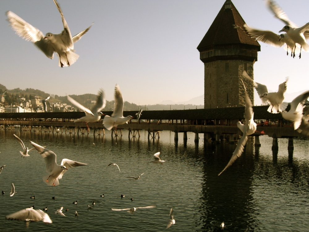 A flock of seagulls fighting over chips in front ofthe Chapel Bridge in Lucern, Switzerland.