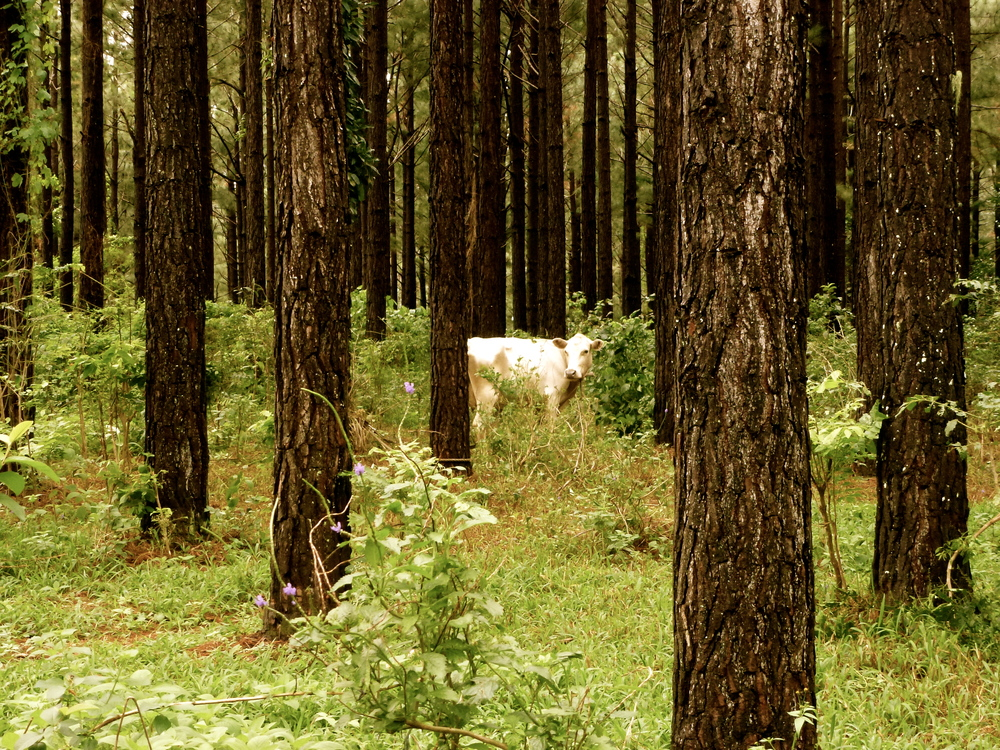 An ominous cow lost in the woods in Eua,Tonga