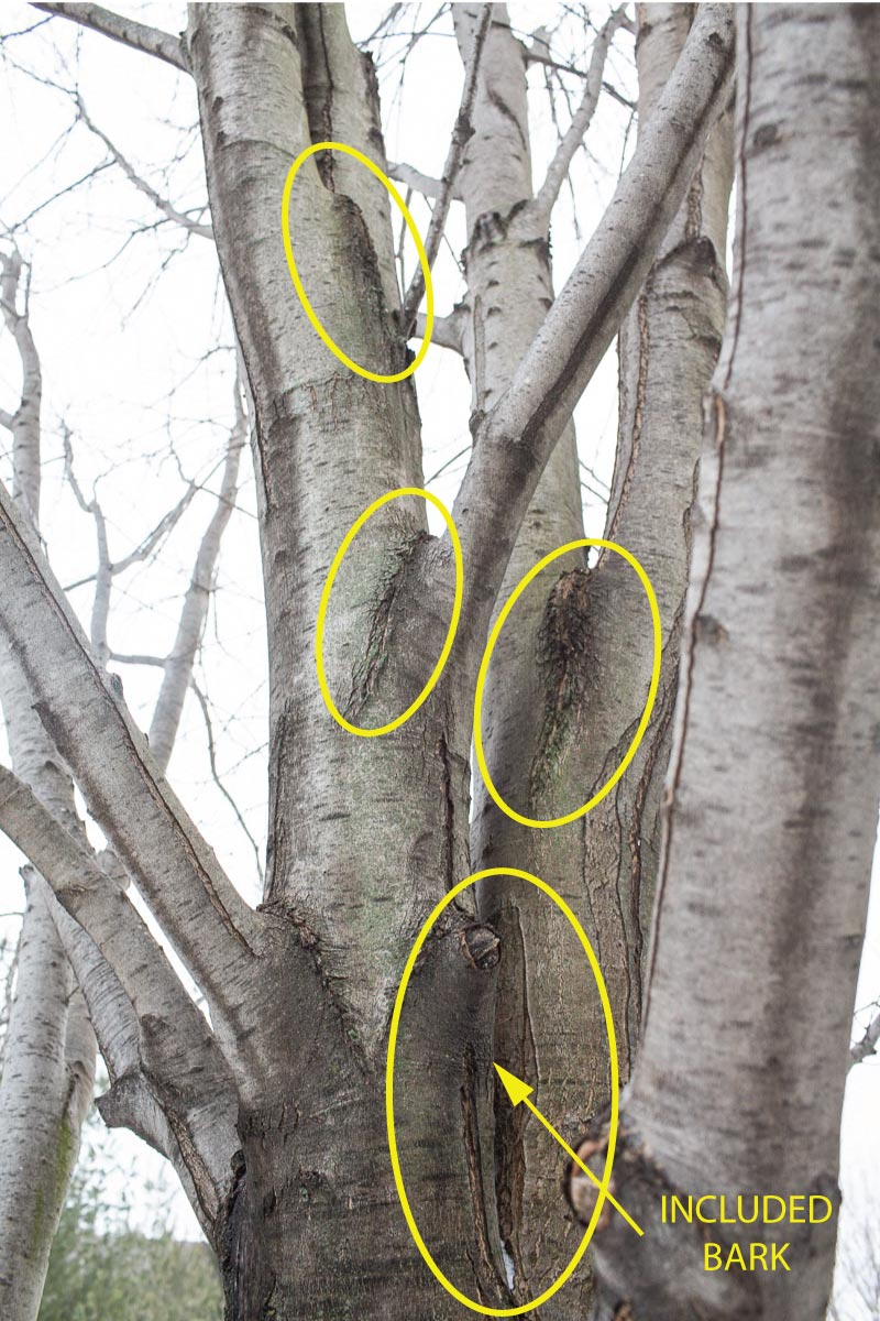 Past the first few limbs (at left), this tree's unions are deep, vertically-oriented V's. Notice how every union has a vertical crack extending down from the bottom point of the branch union? This is trouble waiting to happen.
