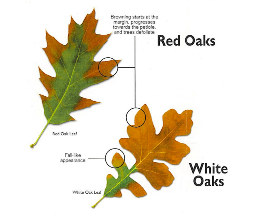 Signs of Oak Wilt on Red and White Oak leaves.