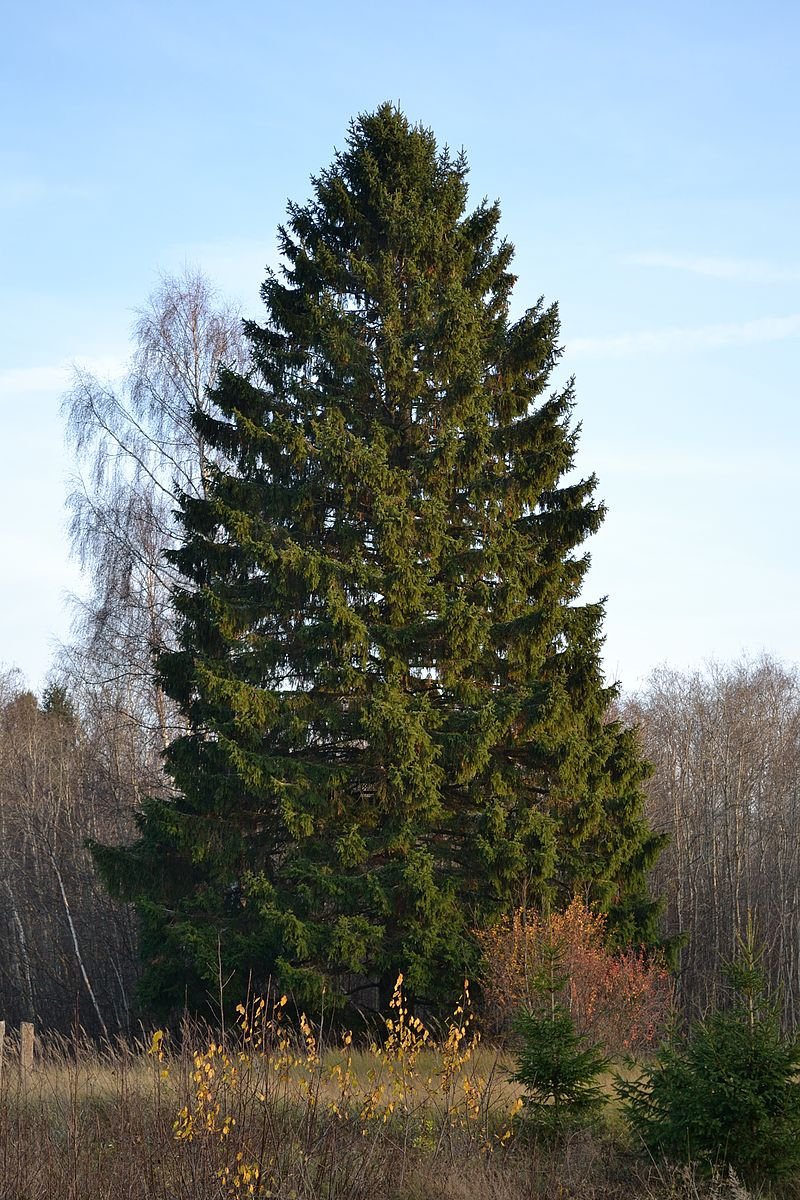 The Norway spruce is a more resistant species alternative to Colorado Blue Spruce.
