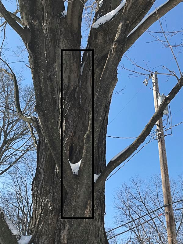 A major trunk crack goes all the way to the ground on this sugar maple.