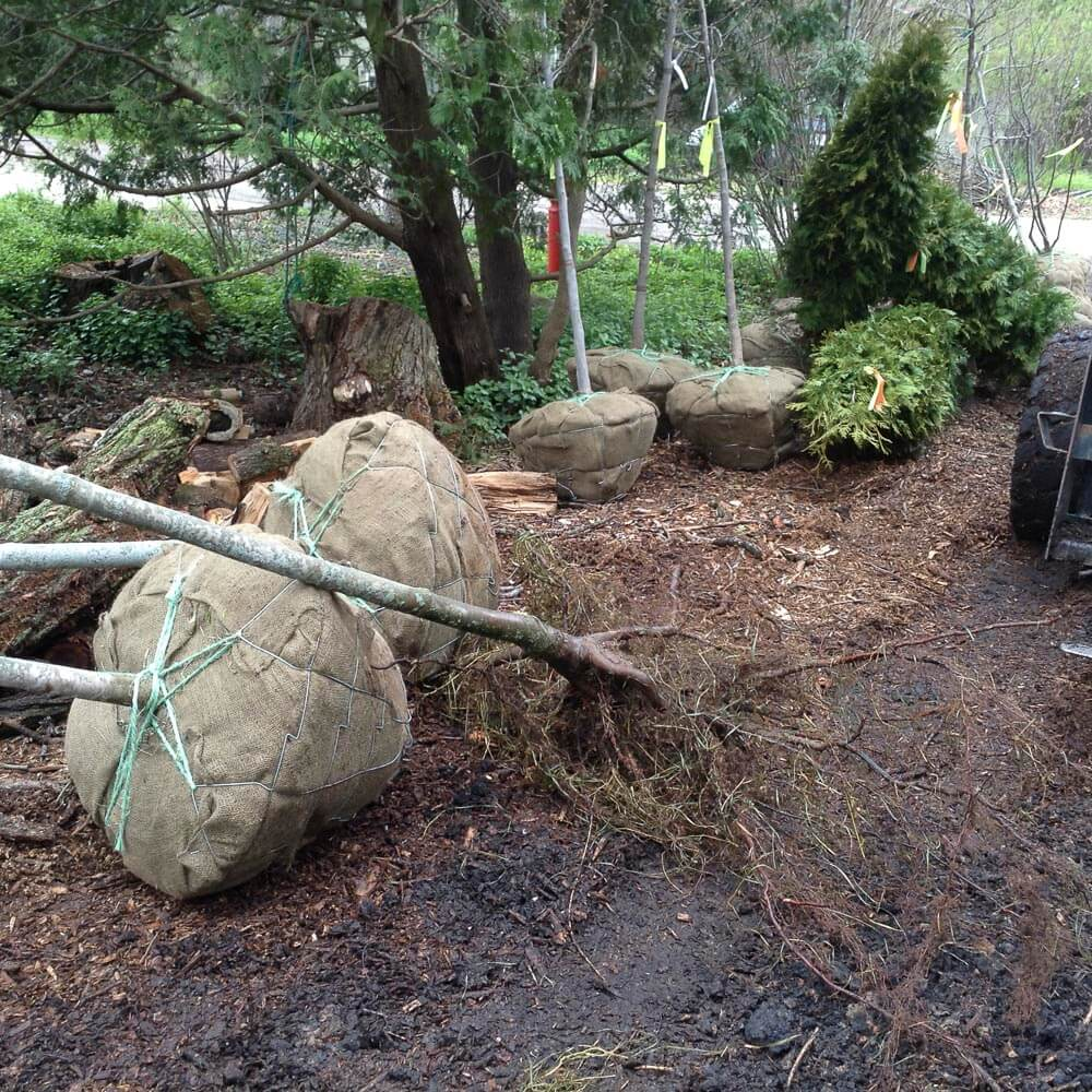 """A bare root tree planting just in front of two """"B&B"""" plantings. Note how extensive the bare root roots are, even though the B&B plantings are many times larger in mass."""