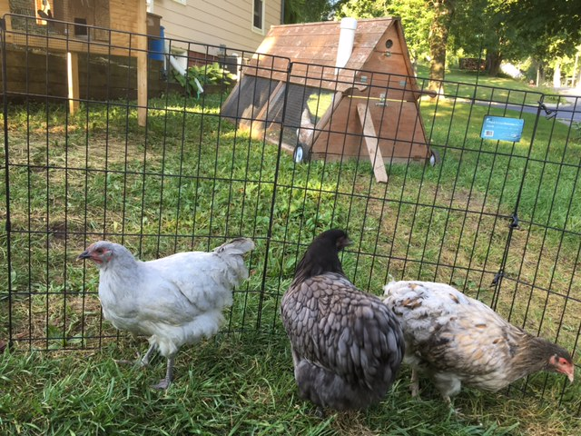 ....these are 3 new Orpington hens.  I love them.  So gentle, and sweet.  But you can also see the rest of my flock in the background and also our bunny.  It's a backyard barnyard, to be sure.
