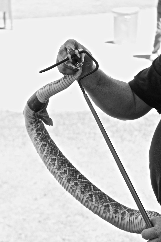 Rattlesnake Rodeo, Opp, AL.