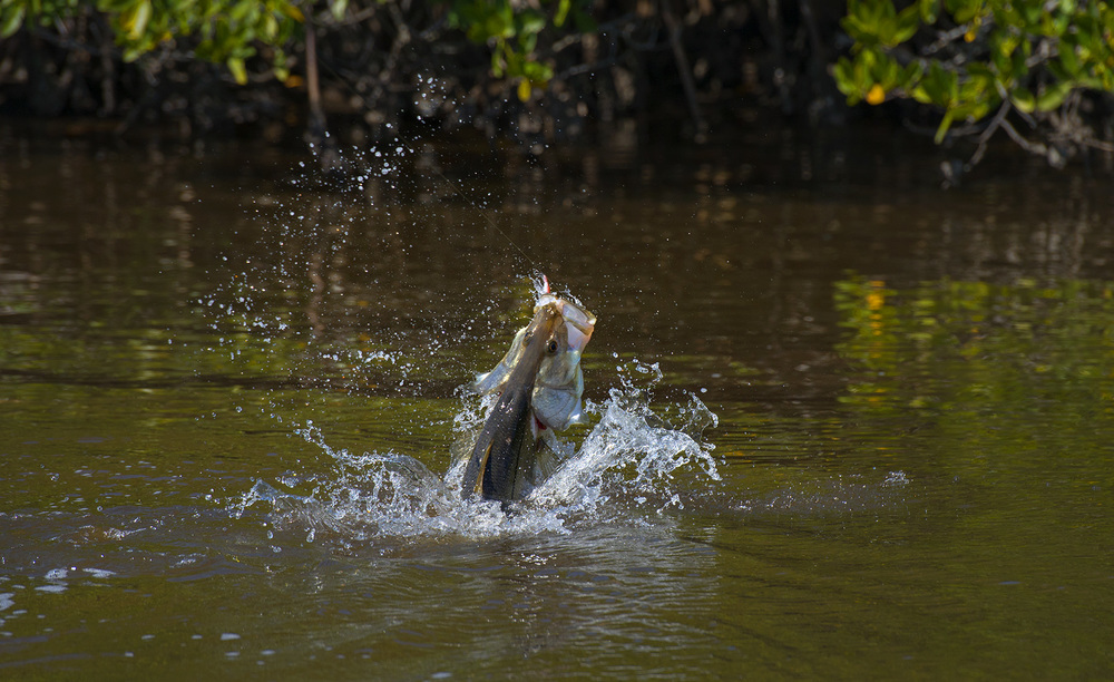 big-huge-monster-snook-in-the-backcountry-of-the-everglades-national-park