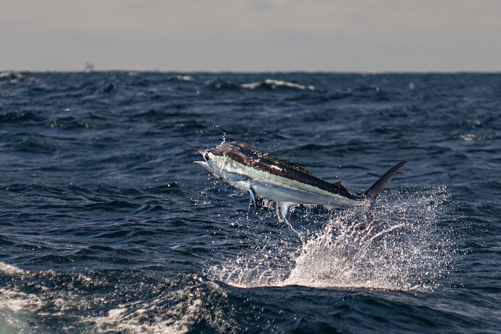 blue-marlin-jumping-deep-sea-fishing-into-the-blue-jason-stemple