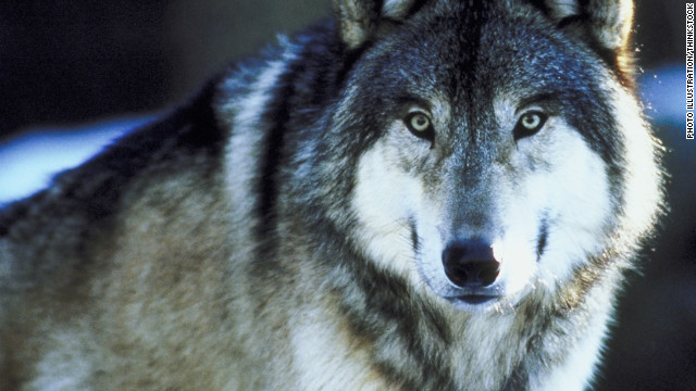 121020124855-gray-wolf-thinkstock-horizontal-gallery.jpg