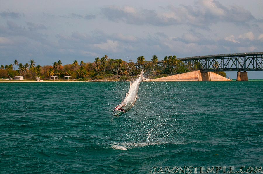 Bahia honda tarpon show photog blog by jason stemple for Bahia honda fishing