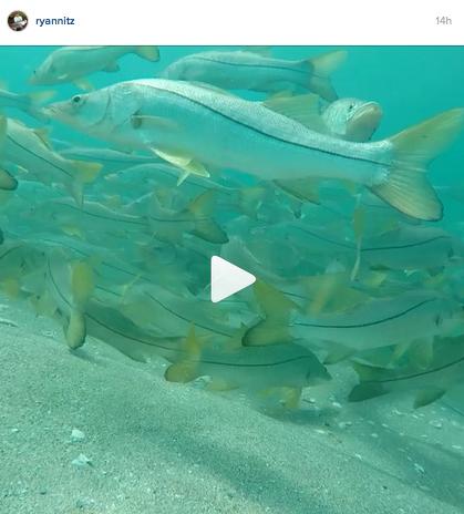 Giant-school-of-snook-underwater