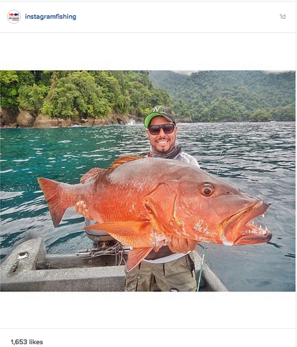 Huge-cubera-snapper