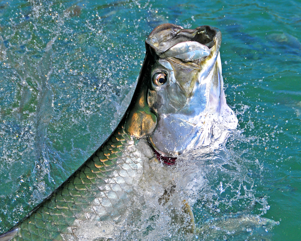 This tarpon was fooled with the right combination of leader, fly, knots and skill from the angler and guide