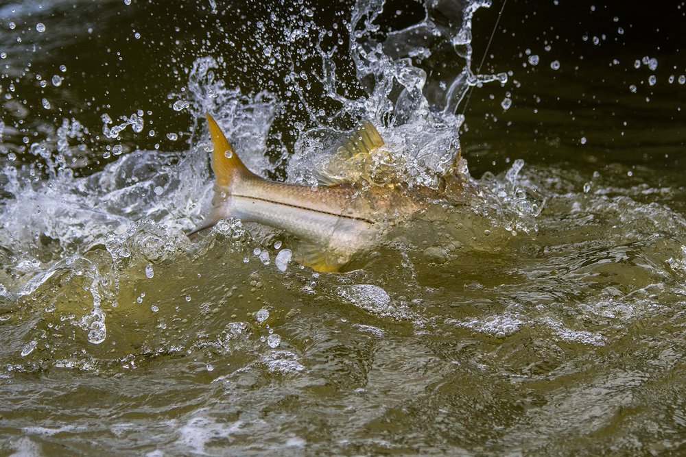 Great shot from Jason stemple of an everglades Snook battle.