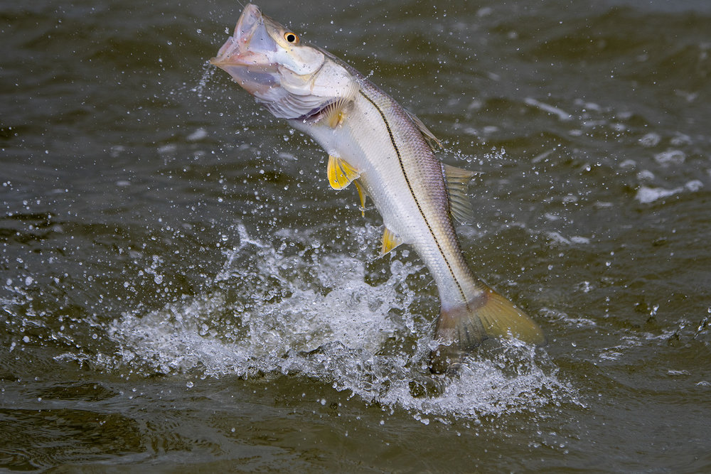 We had to catch multiple Snook in the air with our our Frabill net.