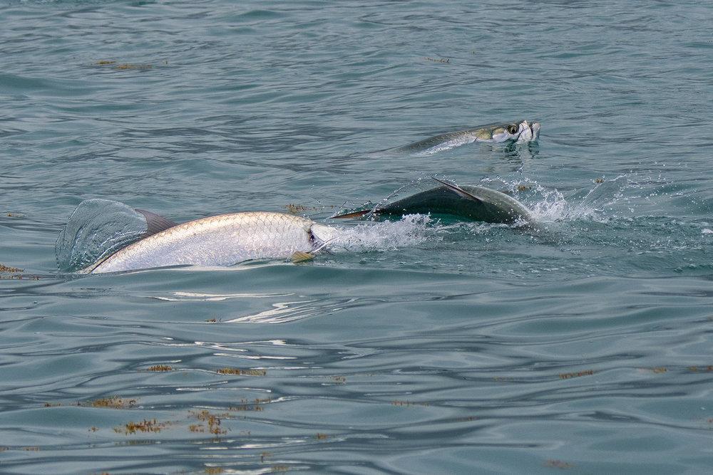 The tarpon invade the waters in Bahia Honda.