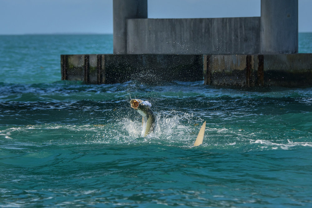Jumping tarpon, this is a favorite here at Saltwater Experience.