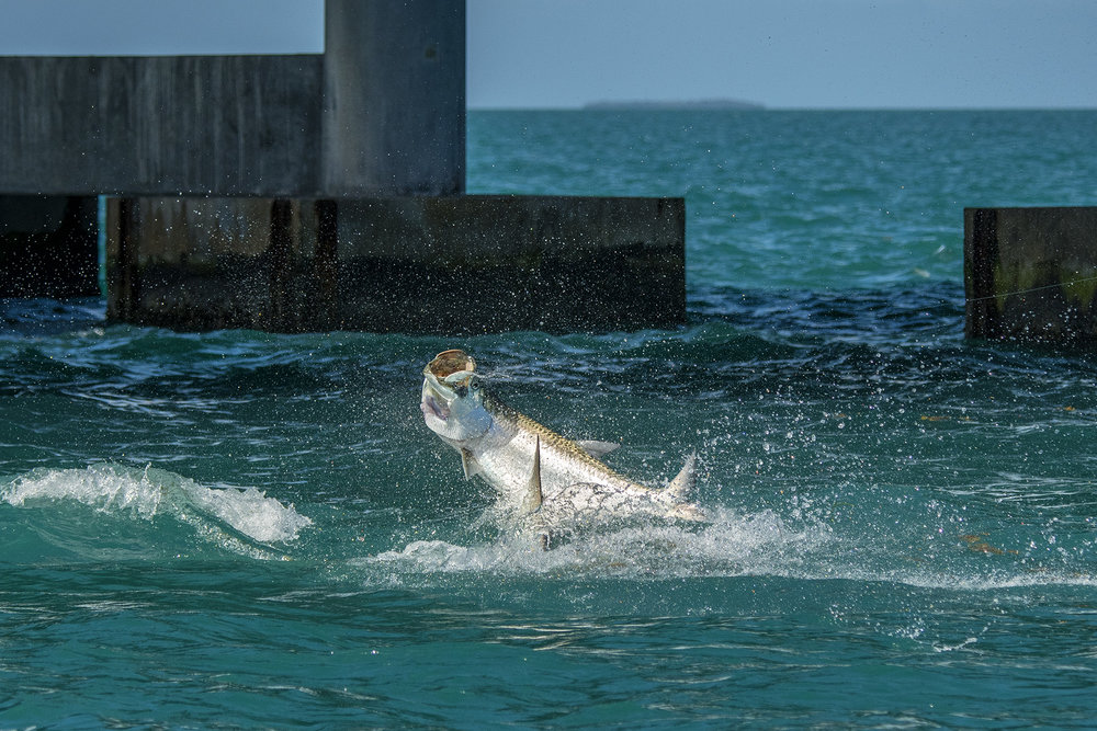 tarpon-fight-super-hard-when-fishing-for-them-in-the-keys