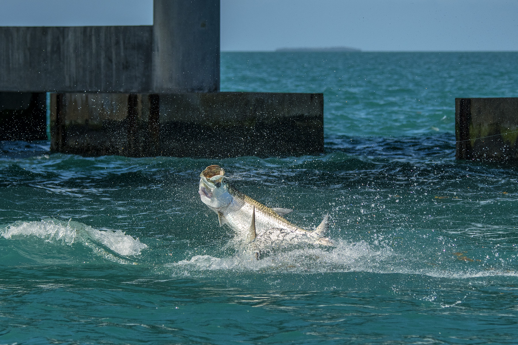 fa19c8c0099 When Can I Catch A Tarpon  - Tarpon Fishing Calendar For The Florida Keys —  Saltwater Experience Fishing