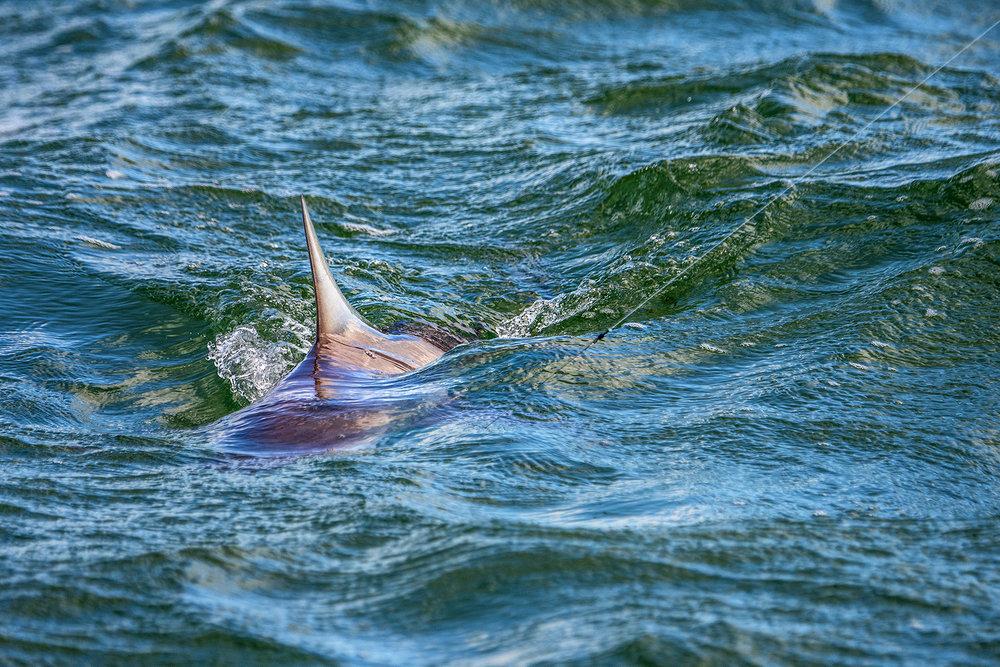 SHARKS -
