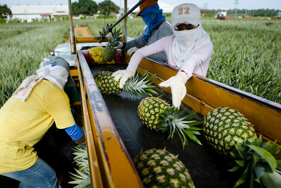 Pineapple plantation workers (Keith Bacongo)