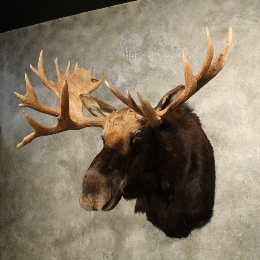 11004-SQ-2-Moose-Shoulder-Taxidermy-Mount