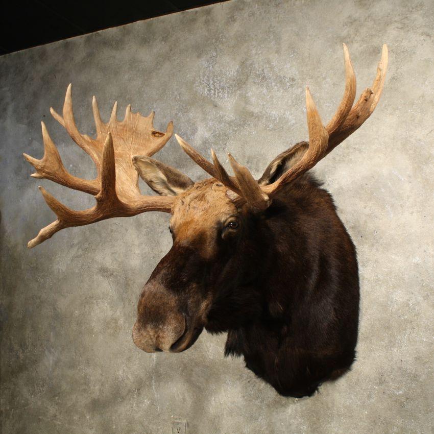 Day 92 Animal Head Mounts Mjg Interiors Manchester