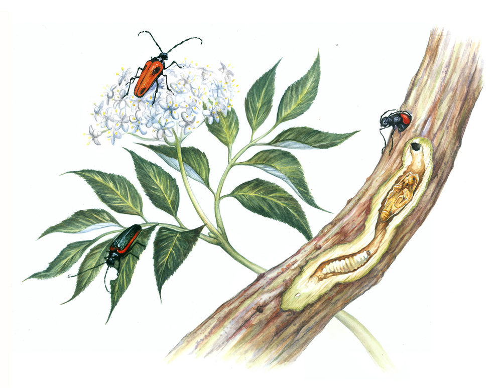 Life Cycle of the Valley Elderberry Longhorn Beetle