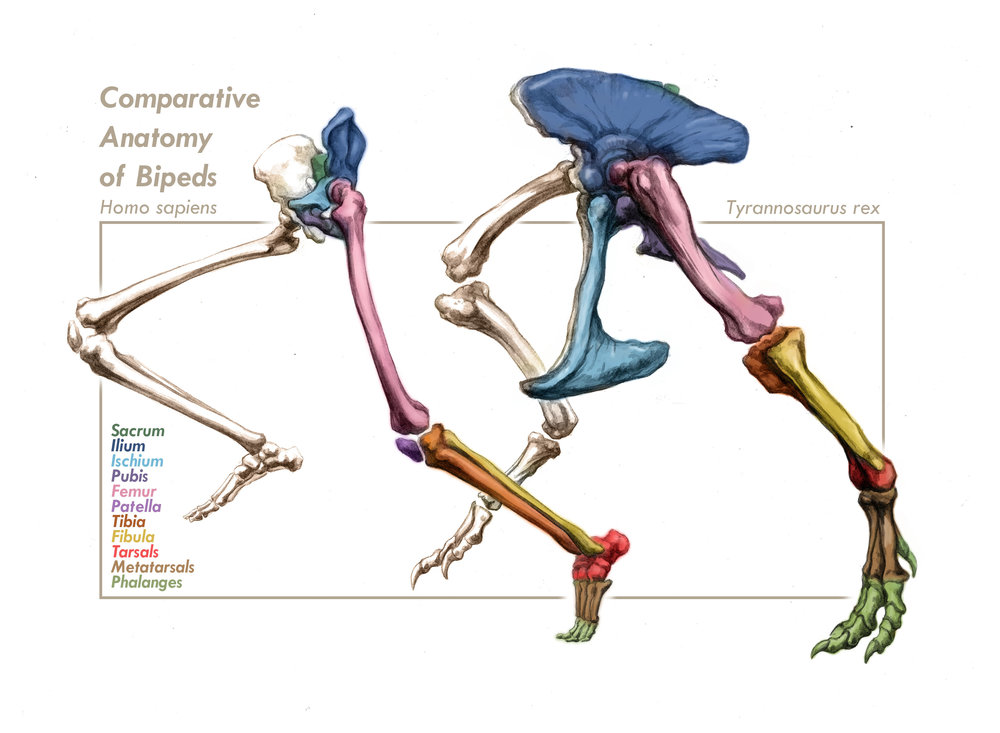 Comparative Anatomy of Bipeds