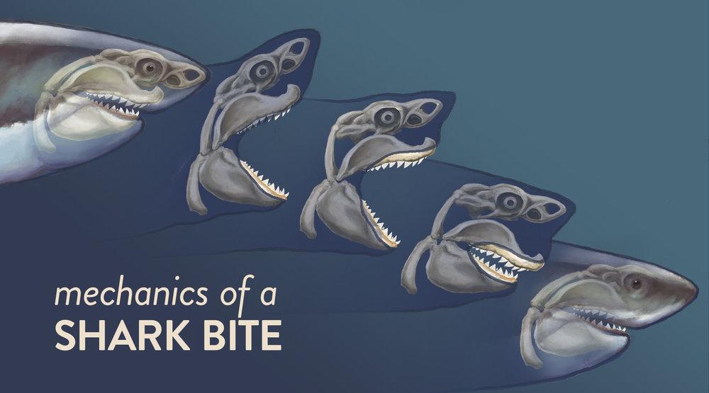 Mechanics of a Shark Bite