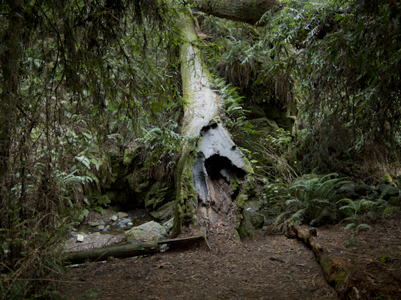 Fallen Tree. Steep Ravine Trail, Mt. Tamalpais/ ©Stella Kalaw