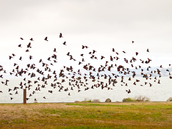 A Flock of Crows at Cesar Chavez Park. Berkeley, CA / ©Stella Kalaw