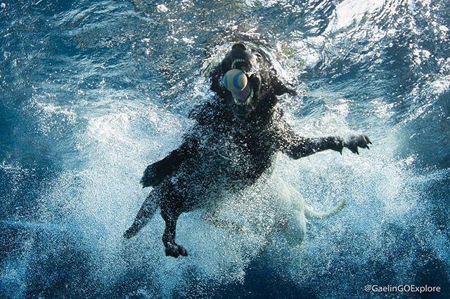 For #WildWednesday...Begonia! In action underwater! . . . . . #labsofinstagram #lablove #labradorretriever #labrador #seewhatsoutthere #blacklab #wildanimal #lab #goexplore #underwater #puppy #wild #upclose #nauticam