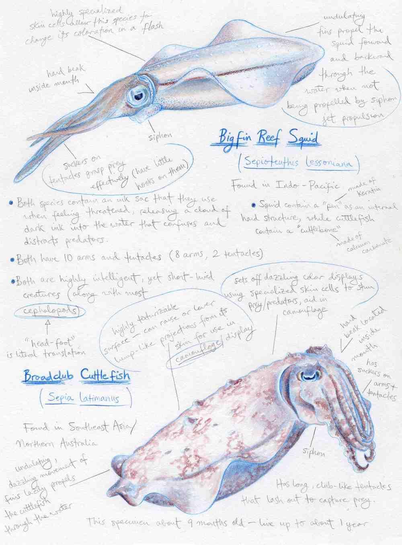Squid & Cuttlefish Comparison