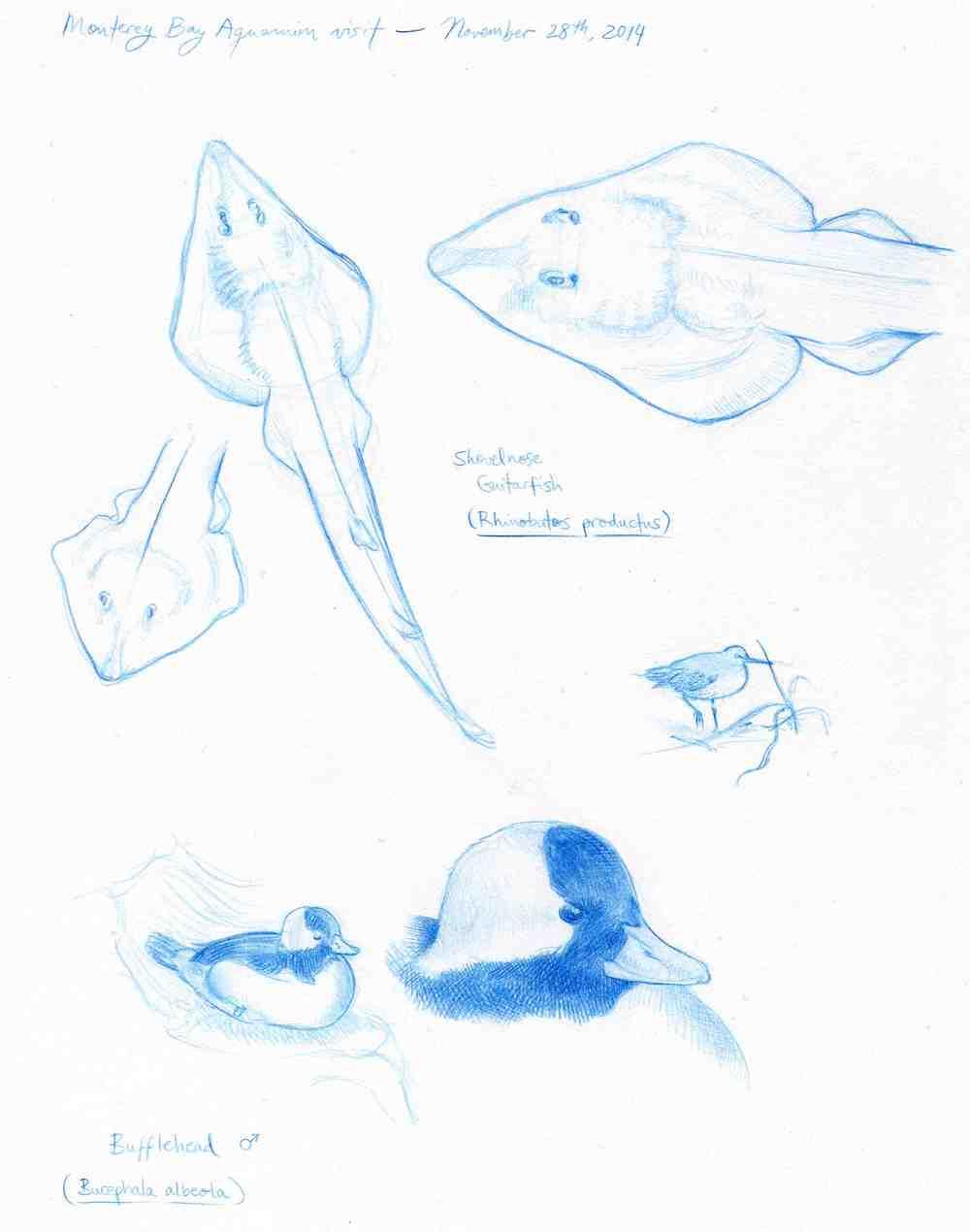 Guitarfish and Bufflehead