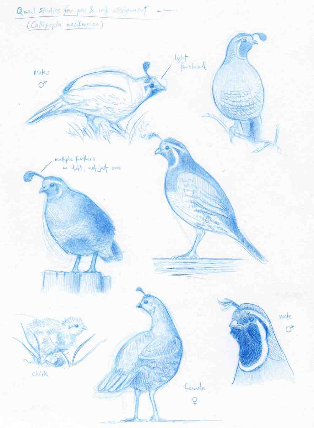 California Quail Studies