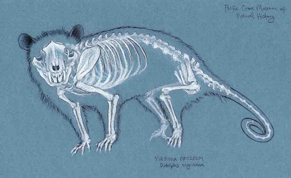 Oppossum Skeletal Glow-Through