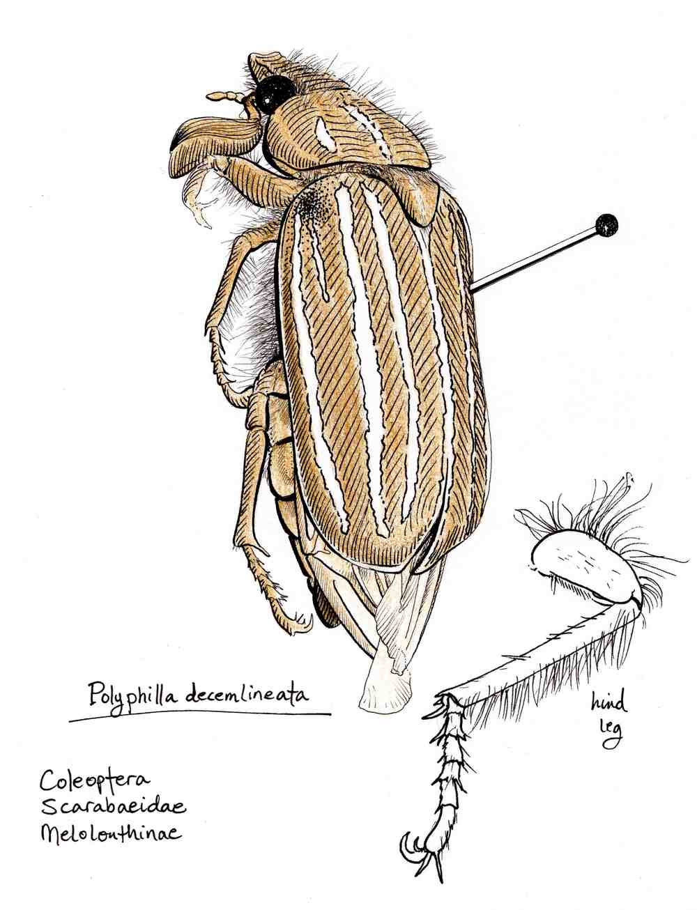 Polyphilla decemlineata Study