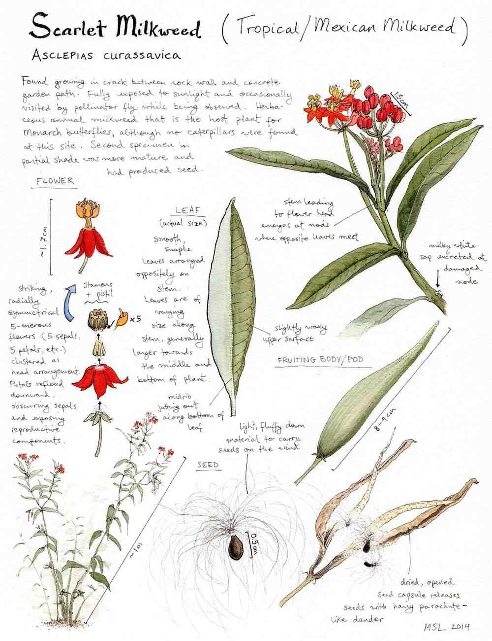 Scarlet Milkweed Study