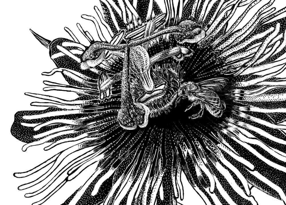 Passiflora Scratchboard