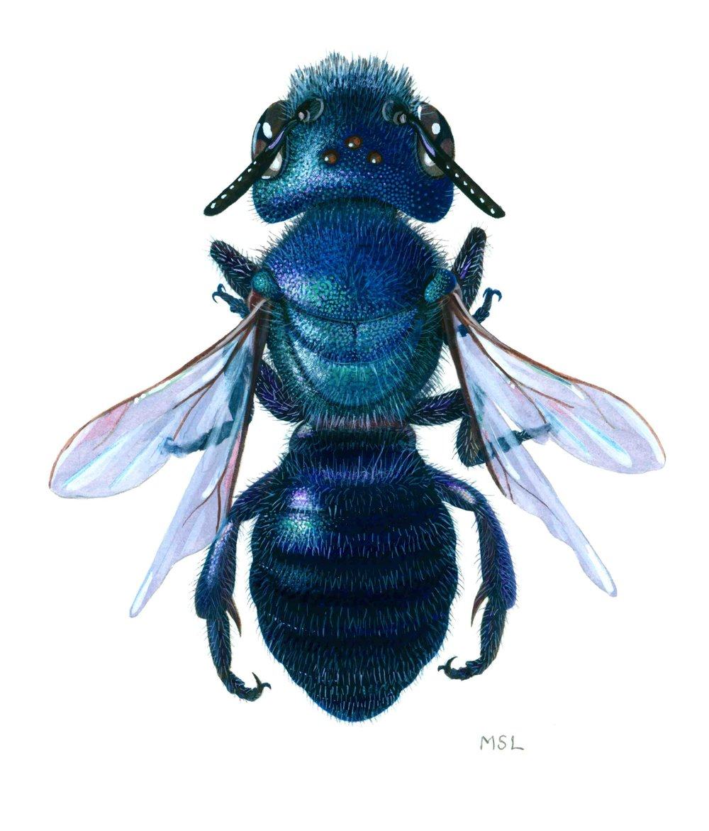Native Blue Bee
