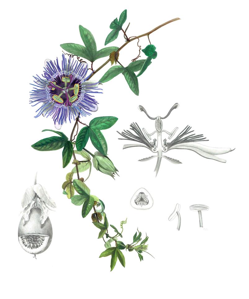 Passiflora Botanical Plate