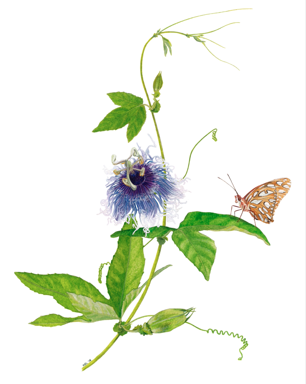 Passiflora 'Erl'