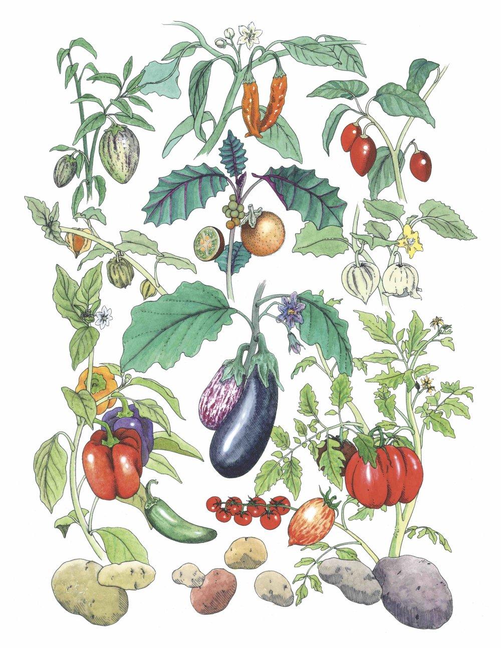 Solanaceae Botanical Plate