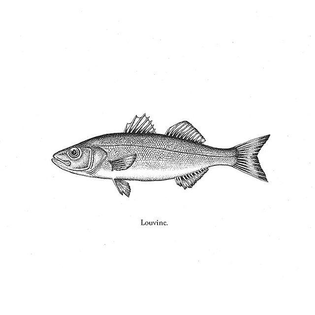. Fish From Here! . La louvine Dessin réalisé au micron 0,05 . #catchandrelease #fishing #basque #louvine #peche #illustration #micron #surpeche #surconsomation #tshirt #vetements #water #basquecountry #bayonne #adour #indentity #ocean #design #drawing #ink
