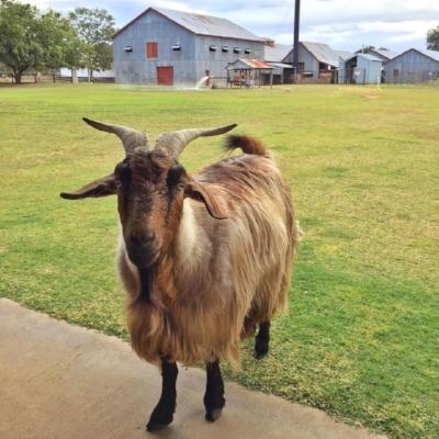 Blackall Woolscour's resident goat
