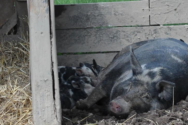 Conner Prairie Piglets