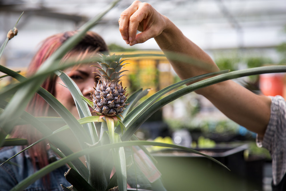 """SPP Intern Carolina Landa and Education Manager Joslyn Rose Trivett admire a pineapple in a Stafford Creek Corrections Center greenhouse."""